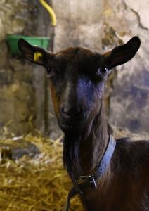 Chèvre chamoisée